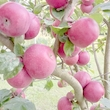 Æblefest på Femø